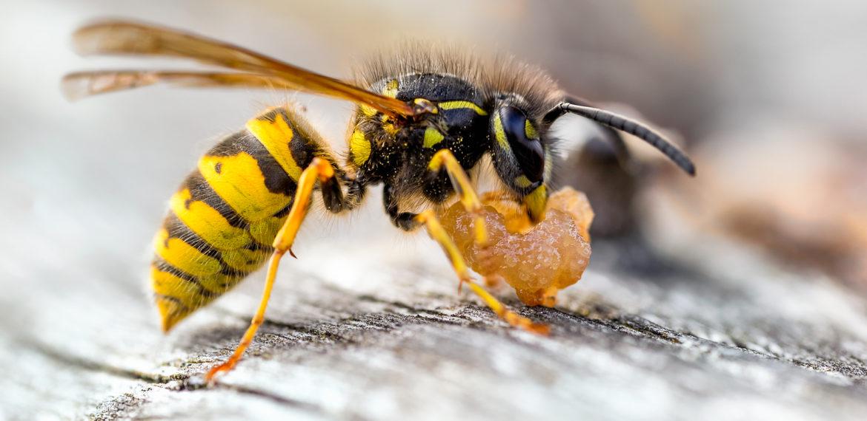 Insektengiftallergie: Hyposensibilisierung mit hohem Behandlungserfolg